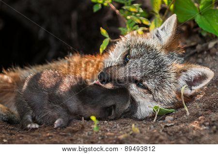 Grey Fox Vixen (urocyon Cinereoargenteus) And Kit Snuggle