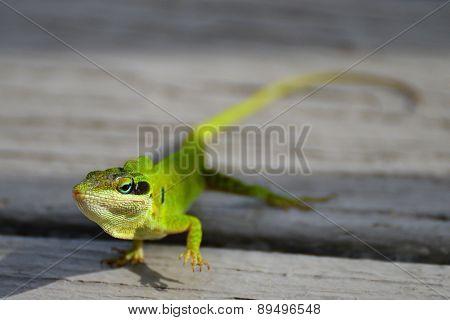 Florida Green Anole Lizard