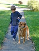 boy taking golden retriever for a walk poster