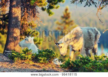 Wild Mountain Goat, Banff National Park Alberta Canada