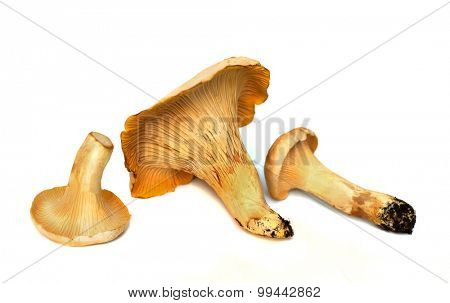 three fresh chanterelle mushrooms isolated against white studio background