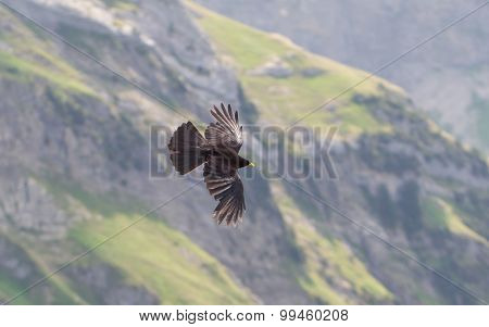 Alpine Chough (pyrrhocorax Graculus) Flying