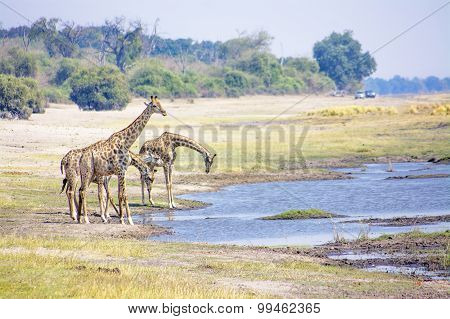 Giraffes Drinking from the River