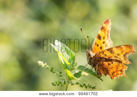 Orange butterfly on top of stinging nettle