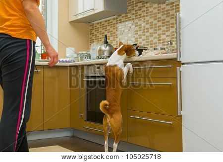 Impudent basenji dog is desperately stealing meat in the kitchen
