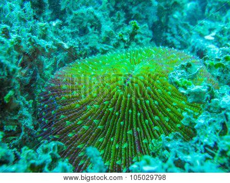 Mushroom coral is a marine invertebrate animal poster