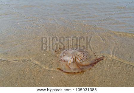 Jellyfish On Beach