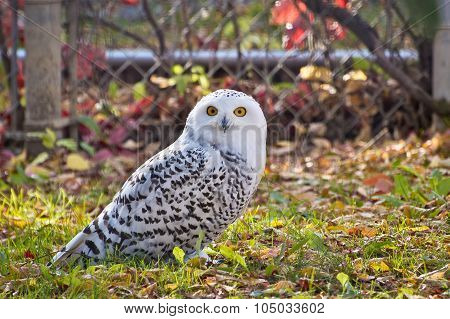 Snowy Owl Staring At Camera