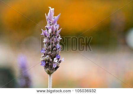 Lavender (lavendula Angustifolia)