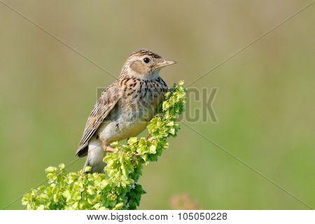 Perching Eurasian Skylark