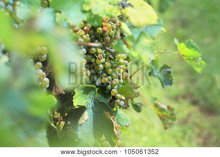 Grapes in vineyard