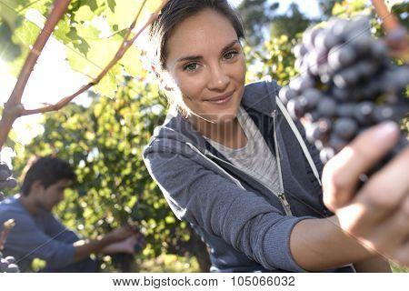 Young woman cutting bunch of grape in vineyard