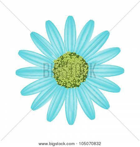 Light Blue Daisy Flower On White Background