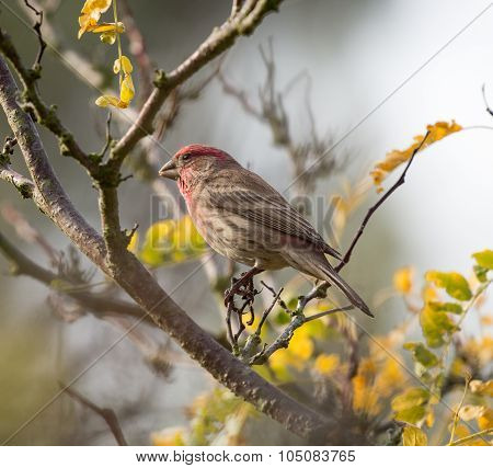 House Finch (Haemorhous mexicanus), Male
