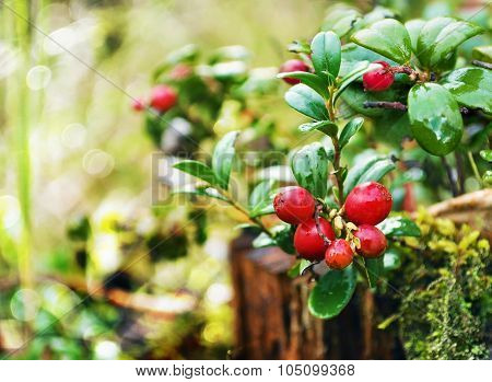 Uncultivated forest cranberries in woods