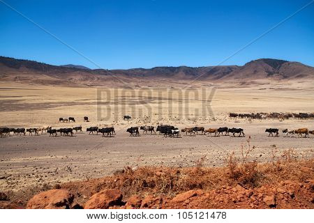 Cow cattle and Maasai people