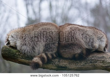 Two racoons sleeping close to each other