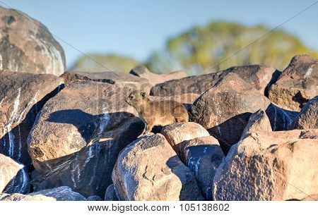 Rock Hyrax - Quiver Tree Forest, Namibia