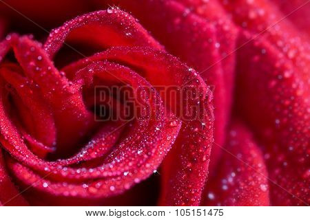 red rose in water drops, closeup