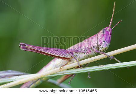 Grasshopper on a grass