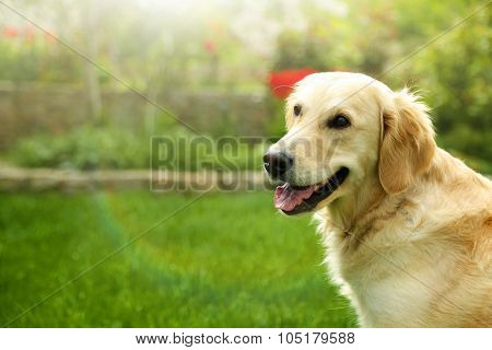 Adorable Golden Retriever on nature background