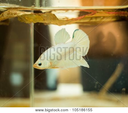 Little White Siamese Fighting Fish