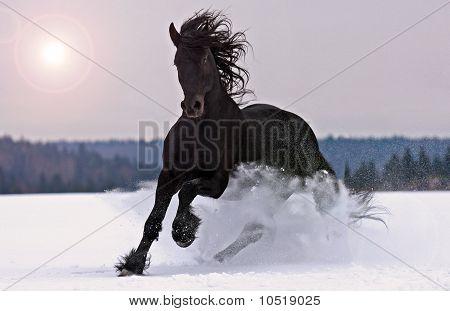 Friesian  horse in winter
