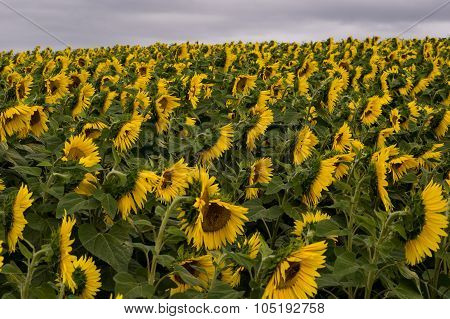 Large Field Of Sunflowers From Above