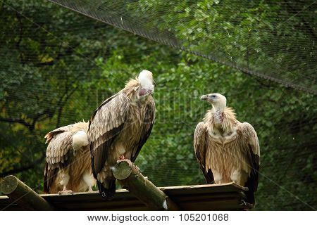 3 Griffon Vultures In The Aviary