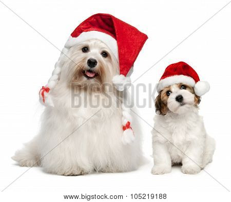 Father And Son Bichon Havanese Dogs In Christmas Hats
