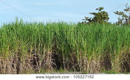 Sugar Cane Field Port Myaca Florida
