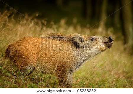 Sniffing Wild Boar From Side View