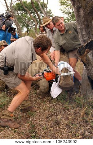 Series 2 Of 6: Dehorning Of Rhino Calf After Been Darted And Stabilized