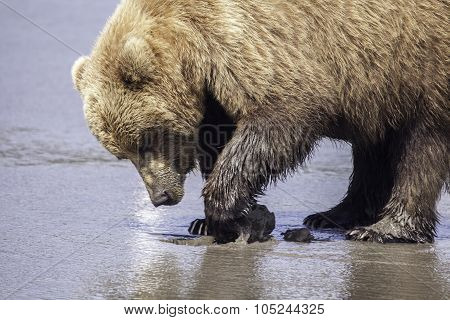 Grizzly Digging