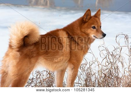 Finnish Spitz on the riverbank in winter poster