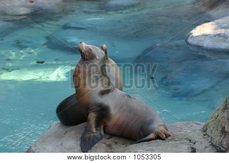 Picture Of Two  Meditating Sealions Sitting On A Rock