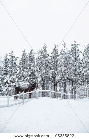 A horse in the paddock in winter, snowy winter in Finland