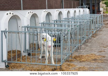 Newborn Calf Stands Next To The Calf Pen
