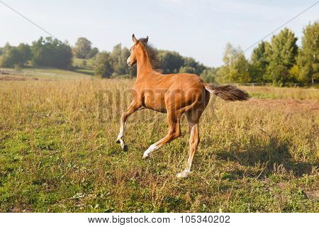 Funny Foal Running Around