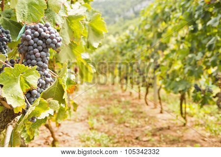 Red Vine Grapes Bunch