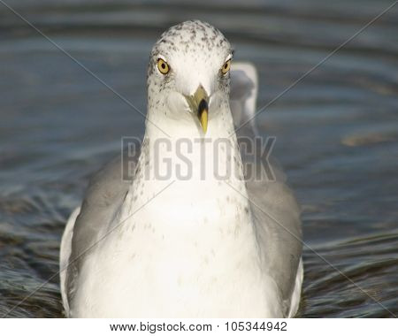 Seagull swimming forwards with eyes staring straight ahead into camera