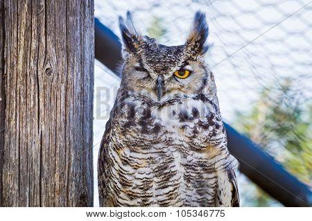 Great Horned Owl Winking