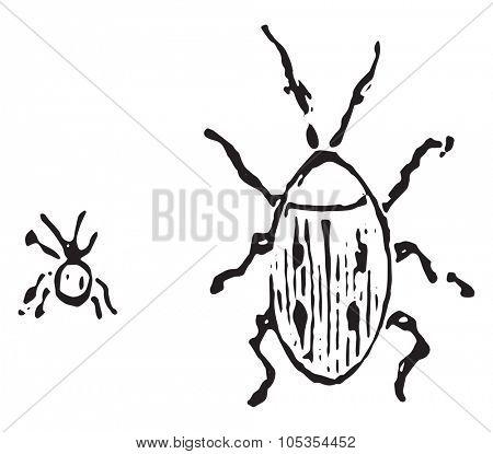 Larder beetle, vintage engraved illustration.