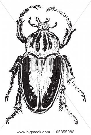 Goliath beetles, vintage engraved illustration.
