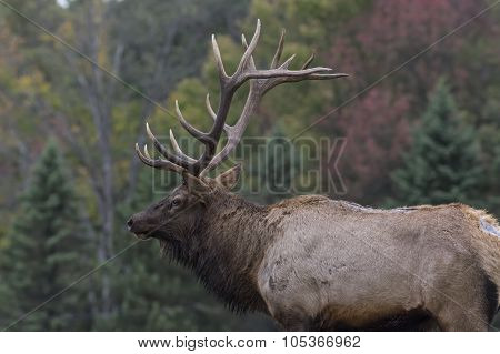 Bull Elk in Rutting Season