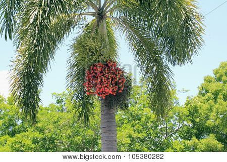 Ripe Palm Tree Fruit