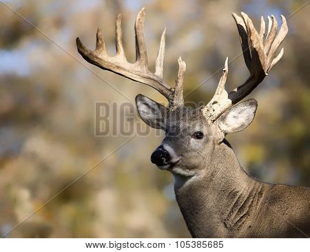 Trophy Buck deer