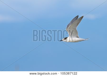 Flying Gull near Lake Issyk-Kul