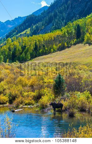 Female Moose In The Conundrum Creek Colorado