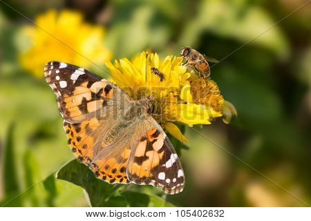 butterfly Vanessa cardui bee and the fly drink the nectar of yellow flowers